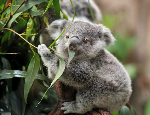 a koala bear eating eucalyptus leaves