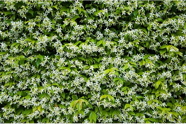 jasmine vines