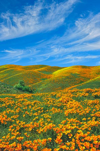 poppy flowers growing wild in California
