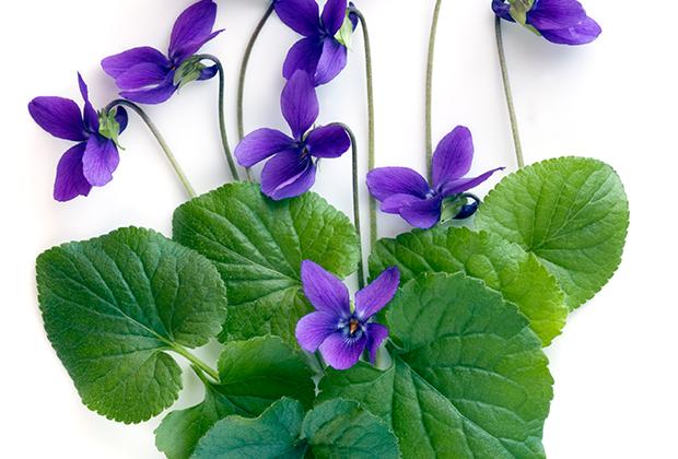 scent trend: violet leaf